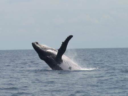 whale watching taboga