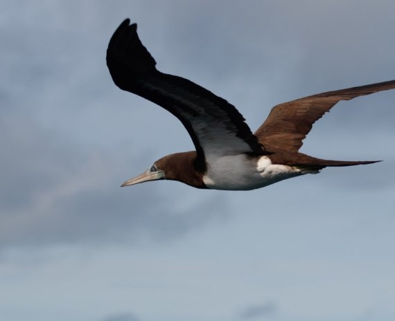 Brown Pelicans Taboga island Panama